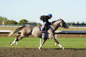 Gray Thoroughbred 001 by diamonte-stock