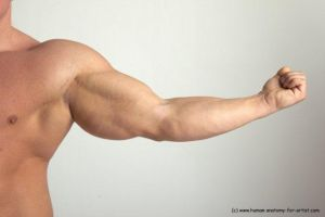 Zoltan - arm, muscles by HumanAnatomy4Artist