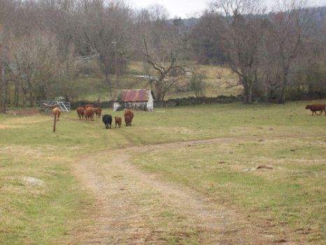 cows out to pasture by paulinejobson