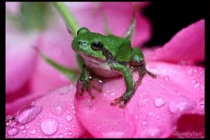 Tree Frog on a Rose by UffdaGreg