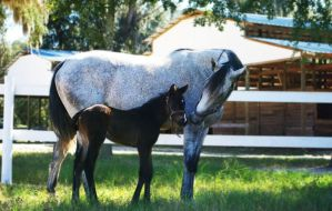 Mare and Foal Stock 01 by First-To-Fight
