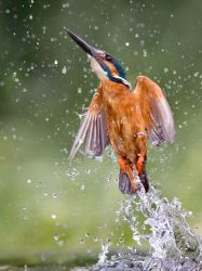 Water jet - Common kingfisher by Jamie-MacArthur