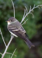 Least Flycatcher 001 by Elluka-brendmer
