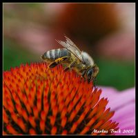 Bee on a pincushion by HobbyFotograf