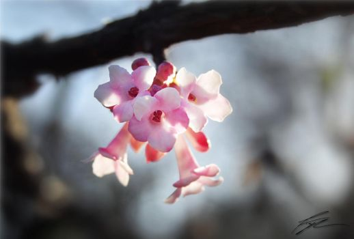 Pink tree flower by jactaylor