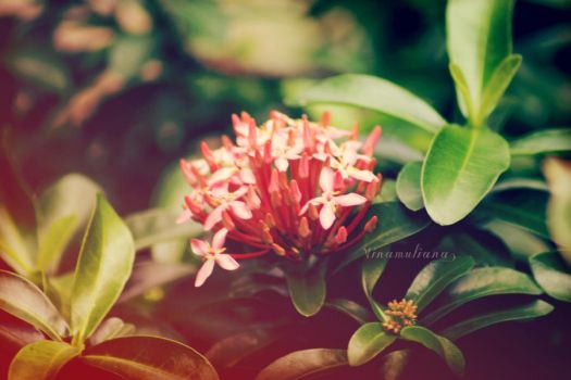 Ixora Javanica by thinkaboutanything