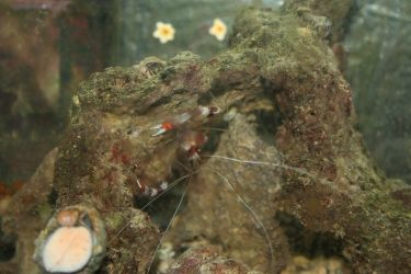 Banded_coral_shrimp_and_snail_and_starfish by ReiGau