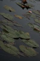 Lily Pad stock 4. by xe-stock