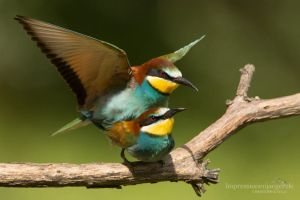 Bee-eater by chriskaula