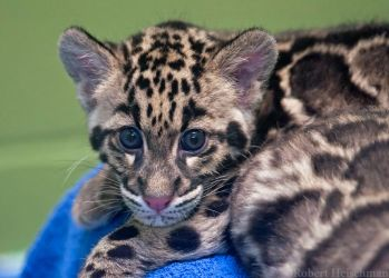 Clouded Leopard Cub 0193 by robbobert