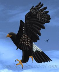 Verreaux's Eagle by sam241