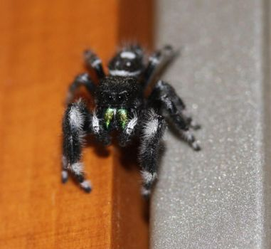 Spider for a Roommate by risawn