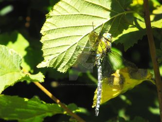 Dragonfly 3 by photos-for-cookies