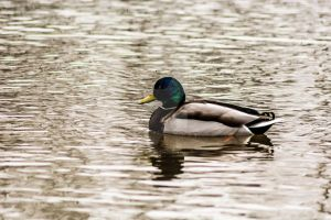 Duck by Iscariot-Photography