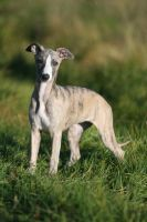 Mimmi the Whippet by SaNNaS