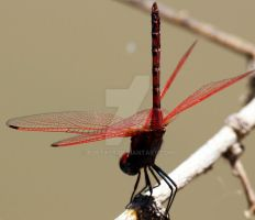 red dragonfly by BobTass
