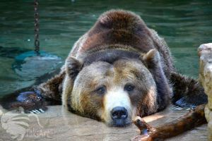 Grizzly Bear Pool by TaksArtPhotos