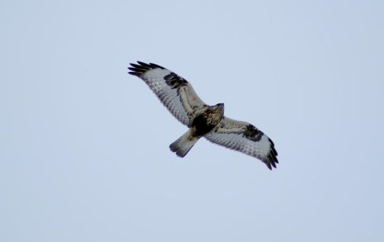 Hawk Overflight by Nattgew