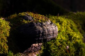 An old bracket fungus covered with moss by sulevlange