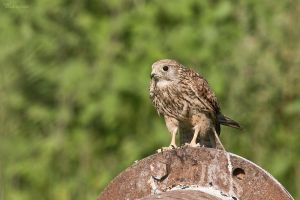 Kestrel. Before by geostant