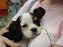 King Charles Cavalier Spaniel by itsayskeds