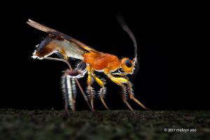 Doryctinae laying eggs by melvynyeo
