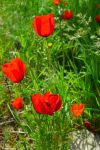 Poppies by LicamtaPictures