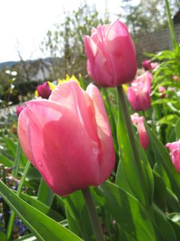 pink tulips with dew by silycat3
