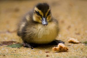 Duckling by misaje