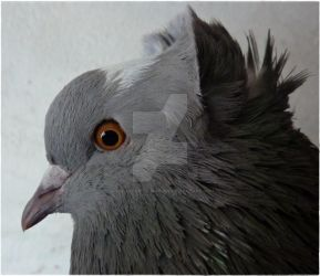 pigeon profil. by only-Freak-by-nature