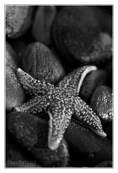 Starfish 2 by DianePhotos