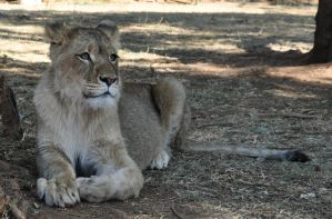Sheba the lioness by Kridah