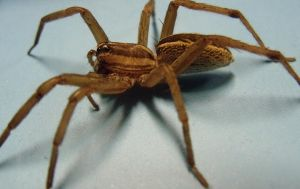 Wolf Spider by Phantomon2010