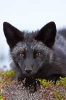 Young Black Fox in the Wild 7 by Witch-Dr-Tim