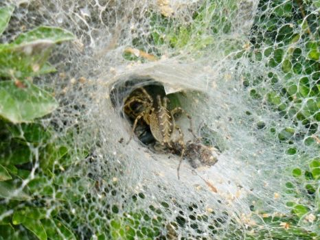 Agelena labyrinthica by PetrINFJ