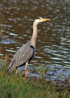 Heron in the evening sunshine by pell21