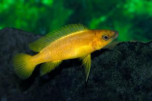 Lemon Cichlid by MichelLalonde