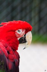 Red Parrot by marichris
