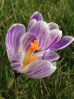 Spring crocus by soulpacifica