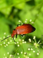 Red Cardinal Beetle by Iris-cup