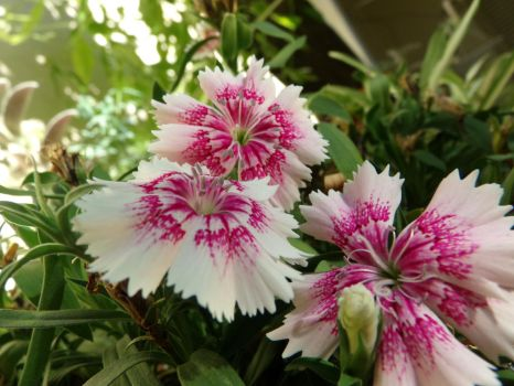 Chinese Carnations Trio 2 by Agus-Xiaolin