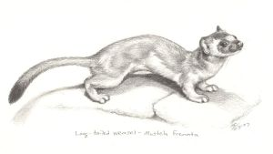 Long-tailed Weasel by Moody-Ferret