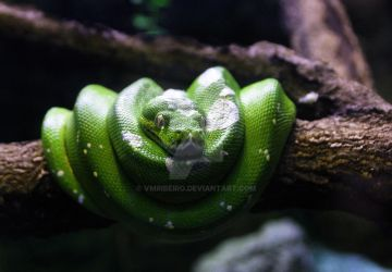 Green snake by vmribeiro