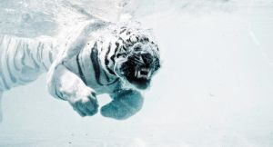 Odin the diving tiger I by Joeykunin