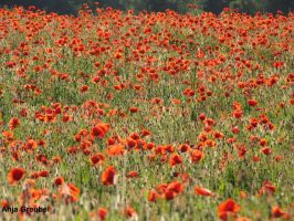 Poppies by SymphonicA19