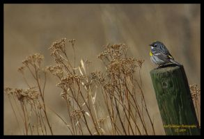 Yellow-rumped Warbler by KSPhotographic