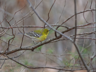 Pine warbler by Mogrianne