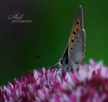 little butterfly. by CaryM