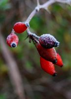 Frost: Rosehips by Wyrdhaven