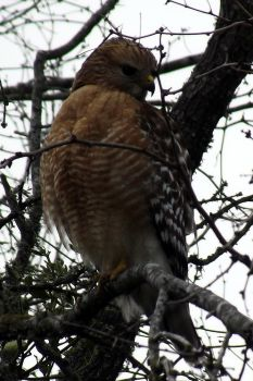 Red Shoulder Hawk by knotcarver